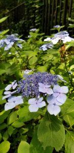 紫ガクアジサイ