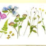 オリセンの押し花