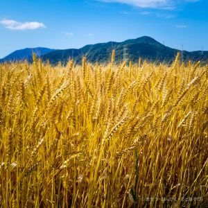 小満の金麦